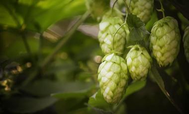 Lúpulo Ingrediente de la Cerveza Germänia Premium